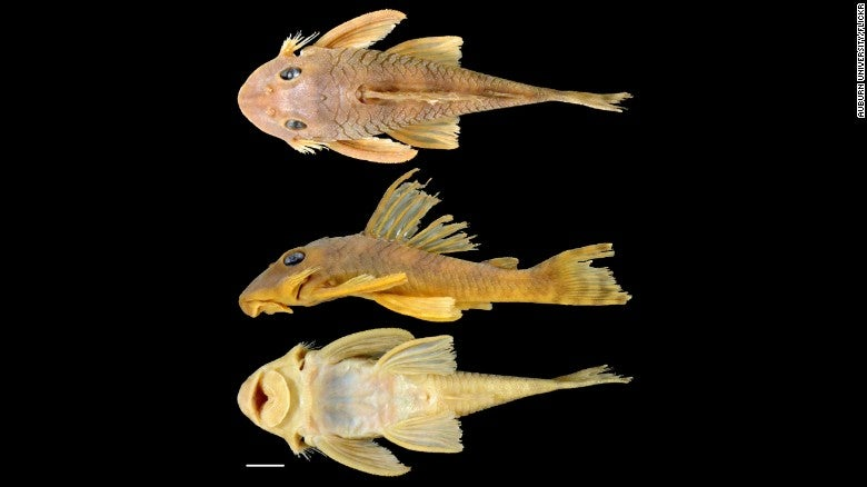 New catfish species named after star wars character greedo for Star wars fish