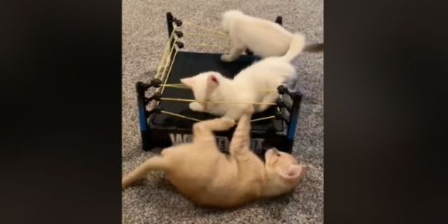 Watch: Video of Cats Wrestling in a Toy Ring Goes Viral