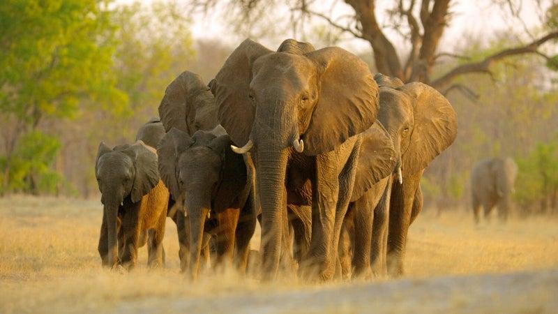 elephant disney plus