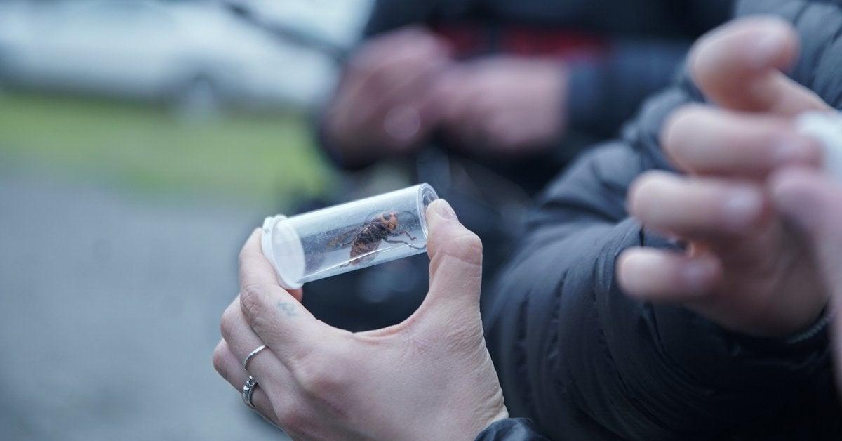 attack of the mruder hornets documentary