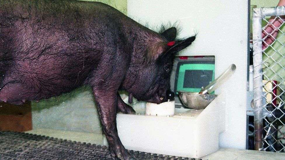 Pig Video Game