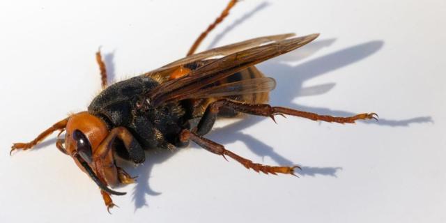 murder hornet getty images