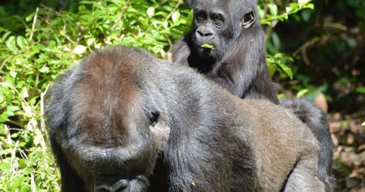 disney world gorilla fighting a snake