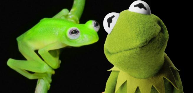 kermitglassfrog